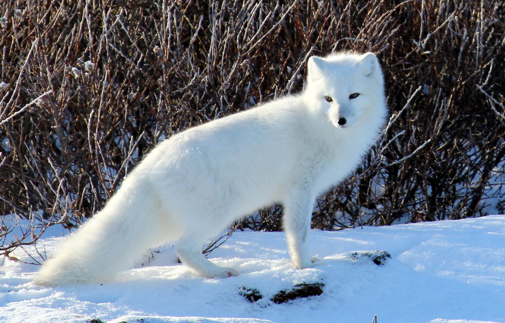Outbreak of Rabies Cases in Northern Quebec's Arctic Fox
