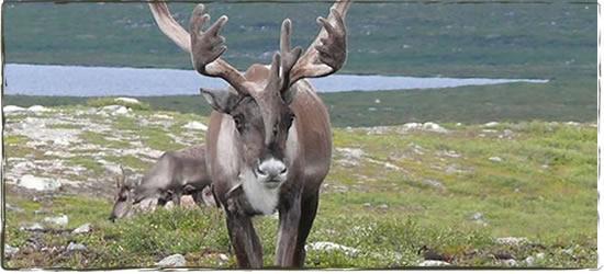 caribou3