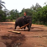 Kitul wood for elephant food Pinnawala