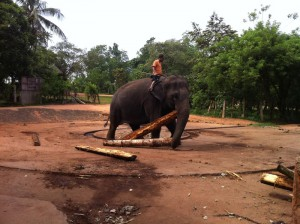 04 - Kitul wood for elephant food Pinnawala 20120506