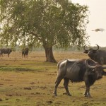 Wild Water Buffalo at Yala 1
