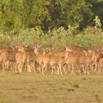 Spotted Deer Yala