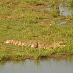 Crocodile udawalawe