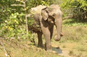 13 - Elephants everywhere 5000 in Sri Lanka