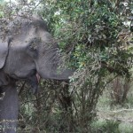 Elephant eating Palu tree with yellow fruit