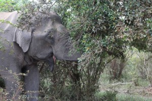 14 - Elephant eating Palu tree with yellow fruit
