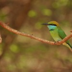 Little Green Bee-eater Yala