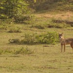 Golden Jackal Yala