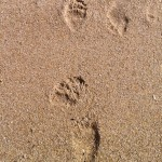 Sloth Bear Tracks on the beach sand Yala
