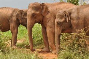 21 - wild elephants red from mud bath Udawalawe