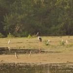 Rare Black-necked Stork Yala