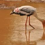Painted Stork Yala