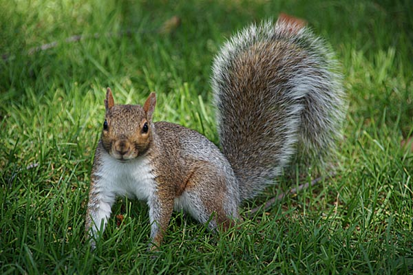 Beware a staggering squirrel in your backyard - Healthy ...