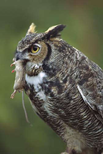 great horned owl by connor stevens period 2nd thinglink