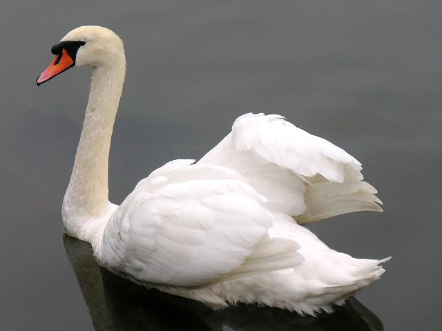 mute swan deaths in st catharines caused by enteric