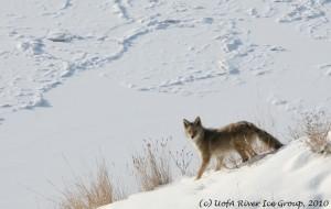 coyote near river2-josh maxwell