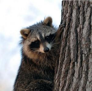 raccoon10