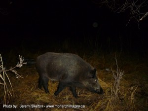 Wild Boar - Photo courtesy of Jeremy Skelton  www.monarchimages.ca