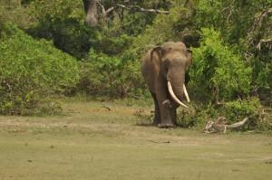 Sri Lanka Tusker