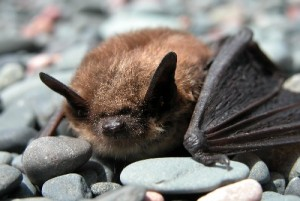 little brown bat - www.caveofthemounds.com