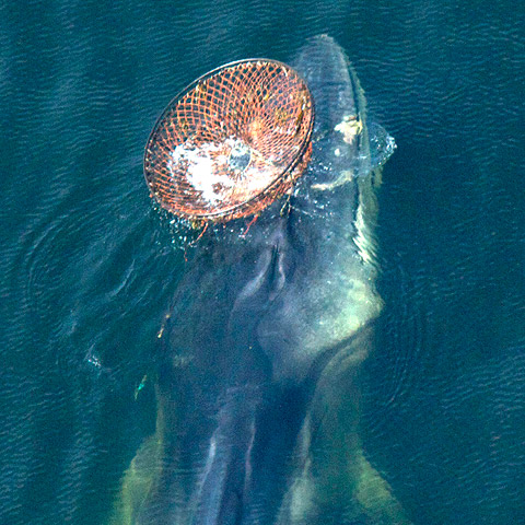 PICTURE (CREDIT GREMM) : Female fin whale (Capitaine Crochet) with a large crab pot caught in her mouth.
