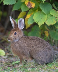 snow shoe hare  -  hg (1 of 1)