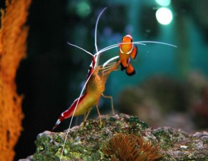 Cleaner shrimp survive by feeding on parasites that live on other organisms.    cleanershrimpsrule.yolasite.com