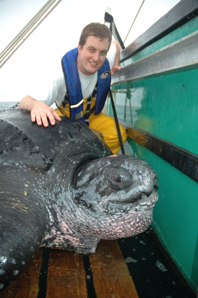 Canadian biologist Dr. Mike James with a leatherback sea turtle in Cape Breton, Nova Scotia. Photo Credit: Canadian Sea Turtle Network.