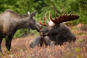 Moose pair http://www.flickr.com/photos/usfwshq/6862339335/