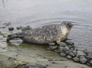 Ringed Seal - Photo: J. Blair Dunn