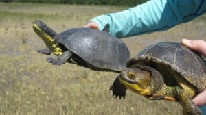 decoy-blandings-turtle-and-the-real-thing