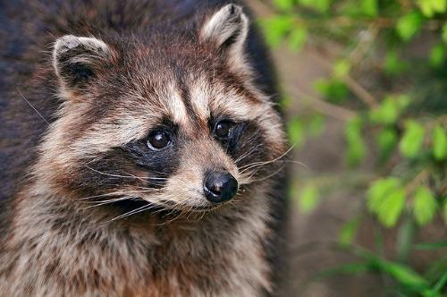urban-raccoon-insert