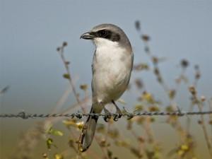 Eastern-loggerhead-shrike