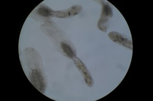 Adult E. alarioides collected from the intestine of North American river otter (100X magnification)