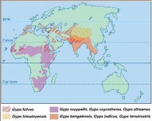 Distribution map of Gyps species