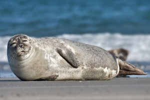 http://en.wikipedia.org/wiki/Harbor_seal#mediaviewer/File:Common_Seal_Phoca_vitulina.jpg