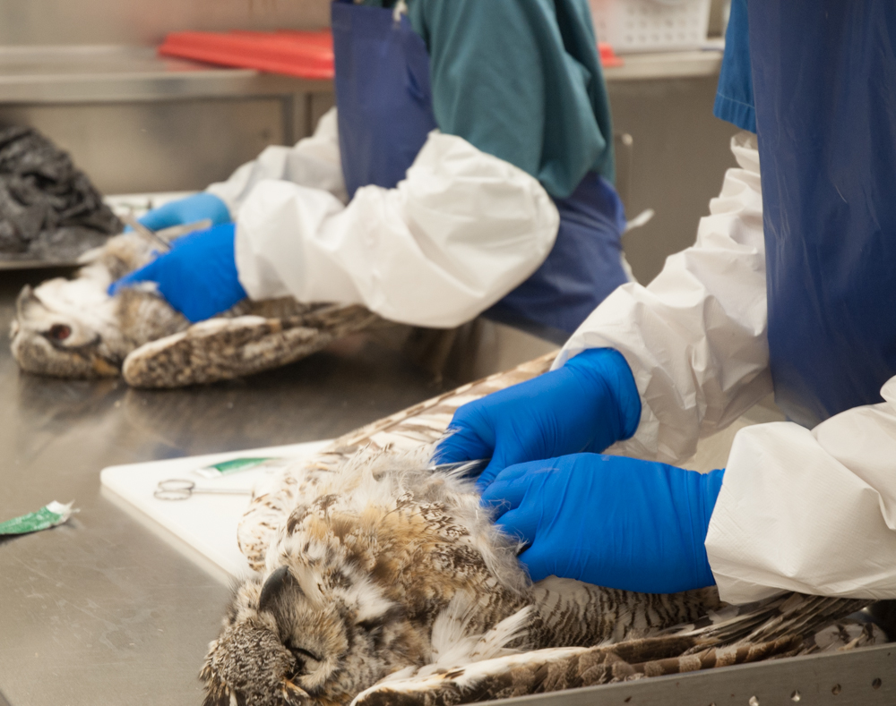 Students performing necropsies on two great horned owls
