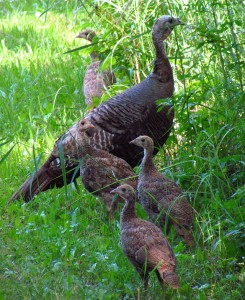"""Wild turkey and juveniles"" by D. Gordon E. Robertson - Own work. Licensed under CC BY-SA 3.0 via Wikimedia Commons - http://commons.wikimedia.org/wiki/File:Wild_turkey_and_juveniles.jpg#mediaviewer/File:Wild_turkey_and_juveniles.jpg"