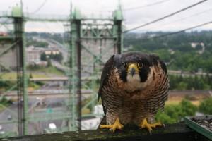 http://www.oregonlive.com/portland/index.ssf/2011/04/peregrine_falcons_find_portlan.html