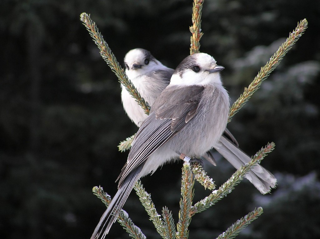 http://commons.wikimedia.org/wiki/File:Perisoreus_canadensis_pair.jpg