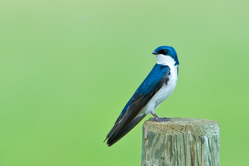 tree swallow    HG  (1 of 1)