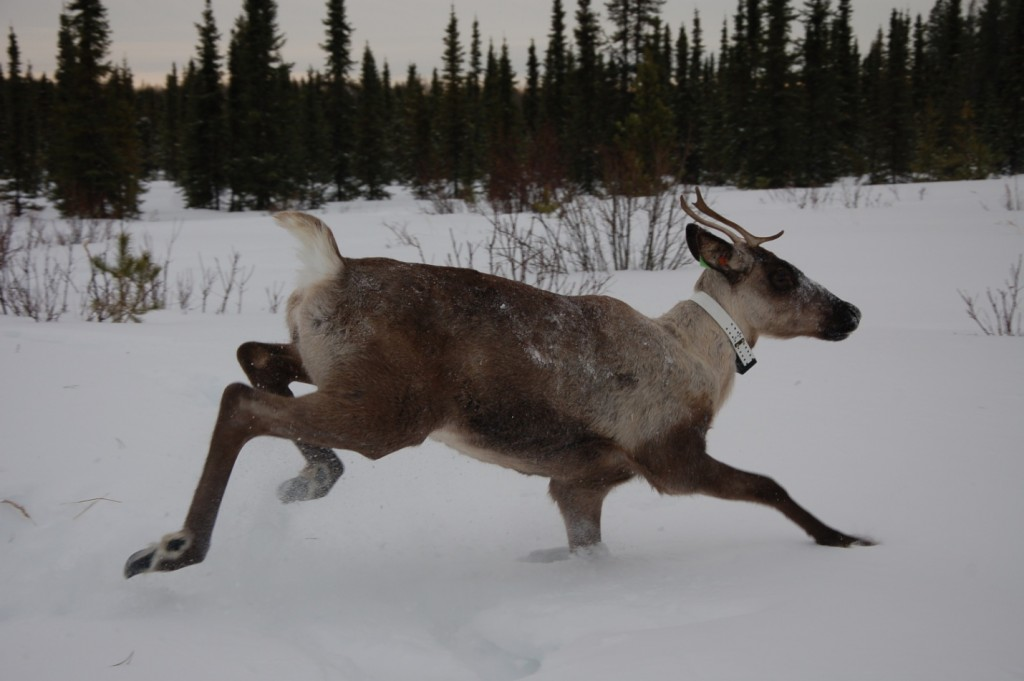 Boreal Caribou Health Research Program - Healthy Wildlife