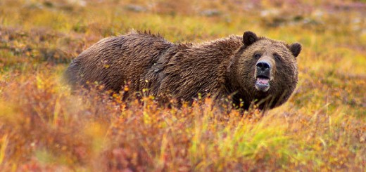 http://commons.wikimedia.org/wiki/File:Grizzly_Denali.jpg