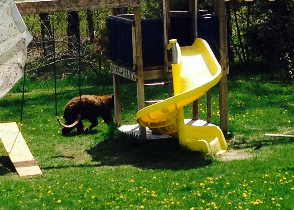 https://elkvalleybearaware.files.wordpress.com/2014/05/brown-bear-pine-ave.jpg