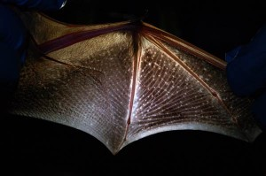 Wing of an Eastern red bat