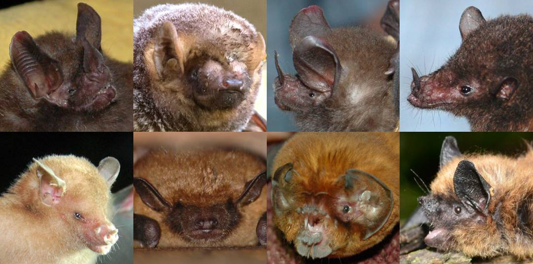 Bat Week Day 2 The Many Faces Of Bats Healthy Wildlife