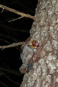 Hoary bat echolocating