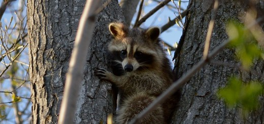 https://commons.wikimedia.org/wiki/File:Raccoon_(Procyon_lotor)_-_Kitchener,_Ontario_02.jpg