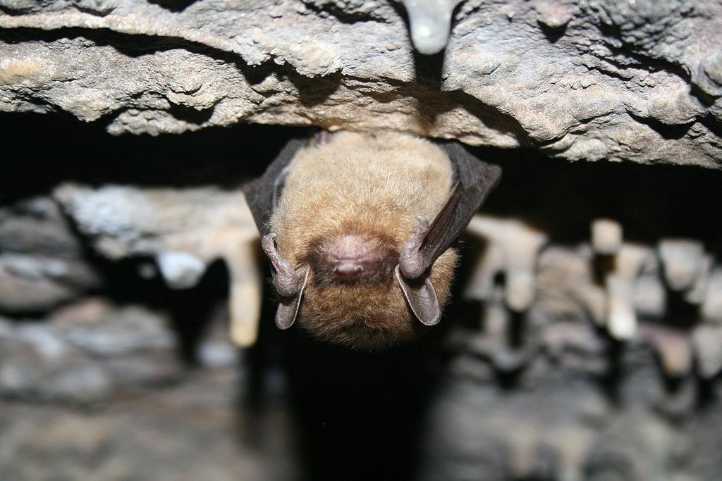 https://commons.wikimedia.org/wiki/File:Little_brown_bat_(5600306085).jpg
