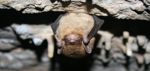 https://commons.wikimedia.org/wiki/File:Little_brown_bat_(5600306085).jpg